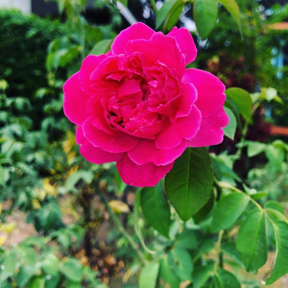 Fuschia flower.