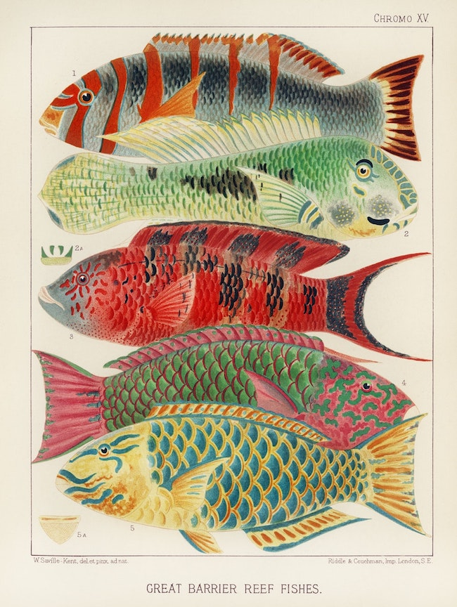 Great barrier reef fishes.