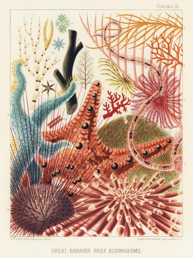 Great barrier reef echinoderms.