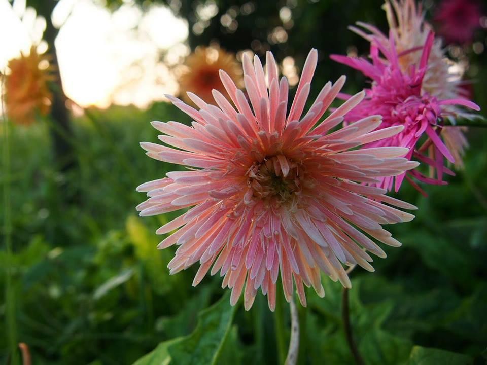 Light and medium pink.