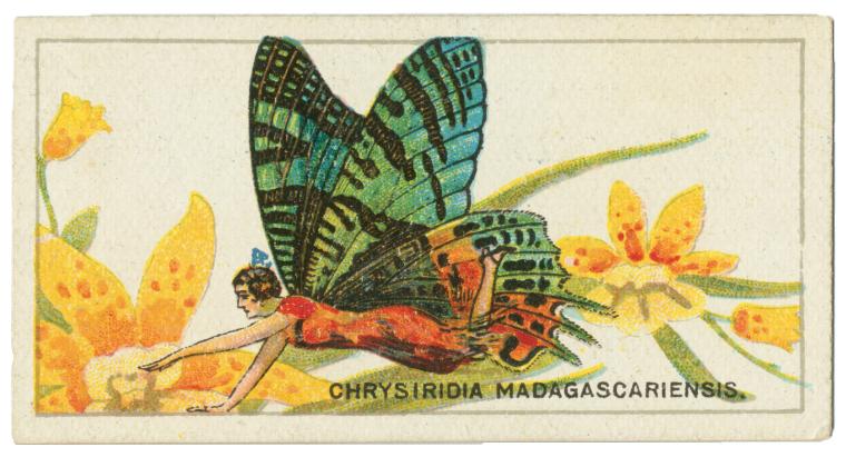 """Chrysiridia rhipheus."" 1928."