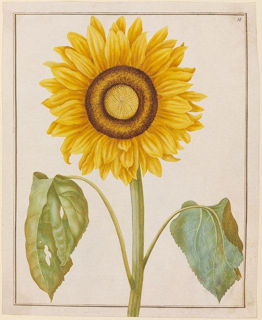 Flor Solis (Sonnenblume).