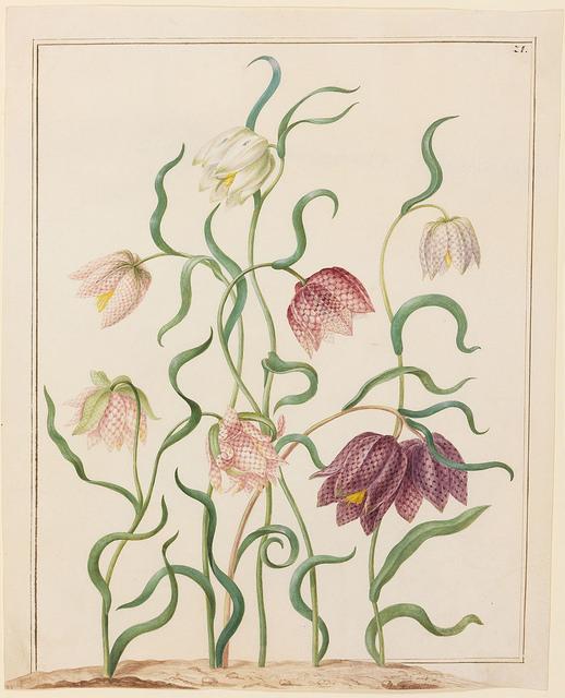 Vritilaria (Schachblume).
