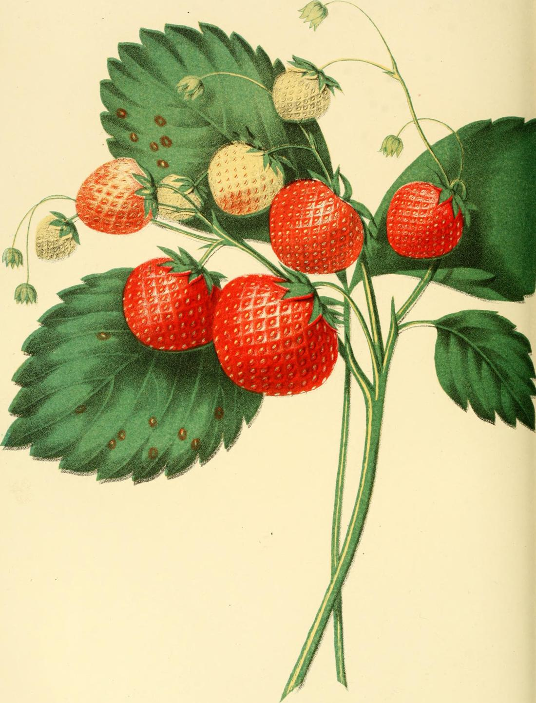 Boston Pine strawberry