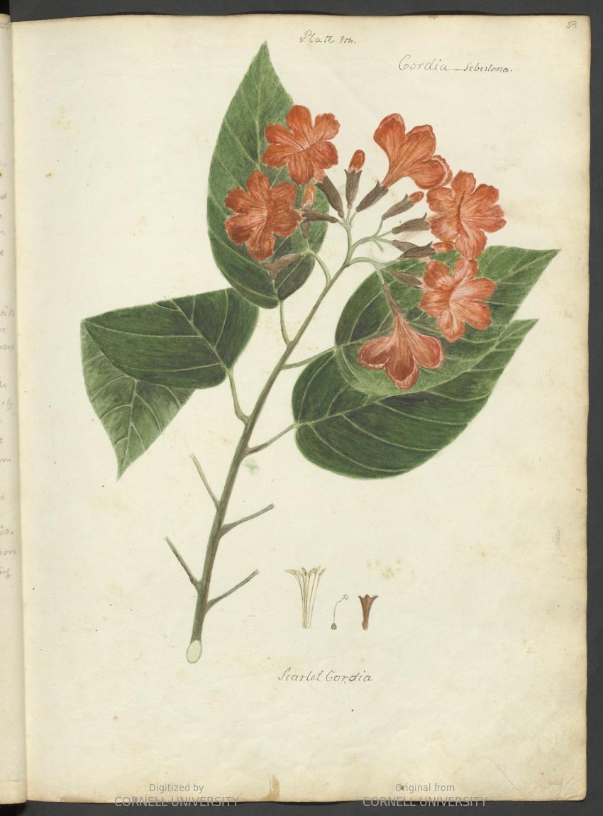 Cordia sebestena or scarlet cordia. Plate 9. Page 59.