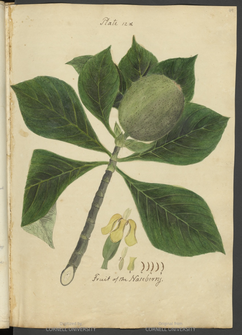 Fruit of the Naseberry. Plate 12. Page 49.