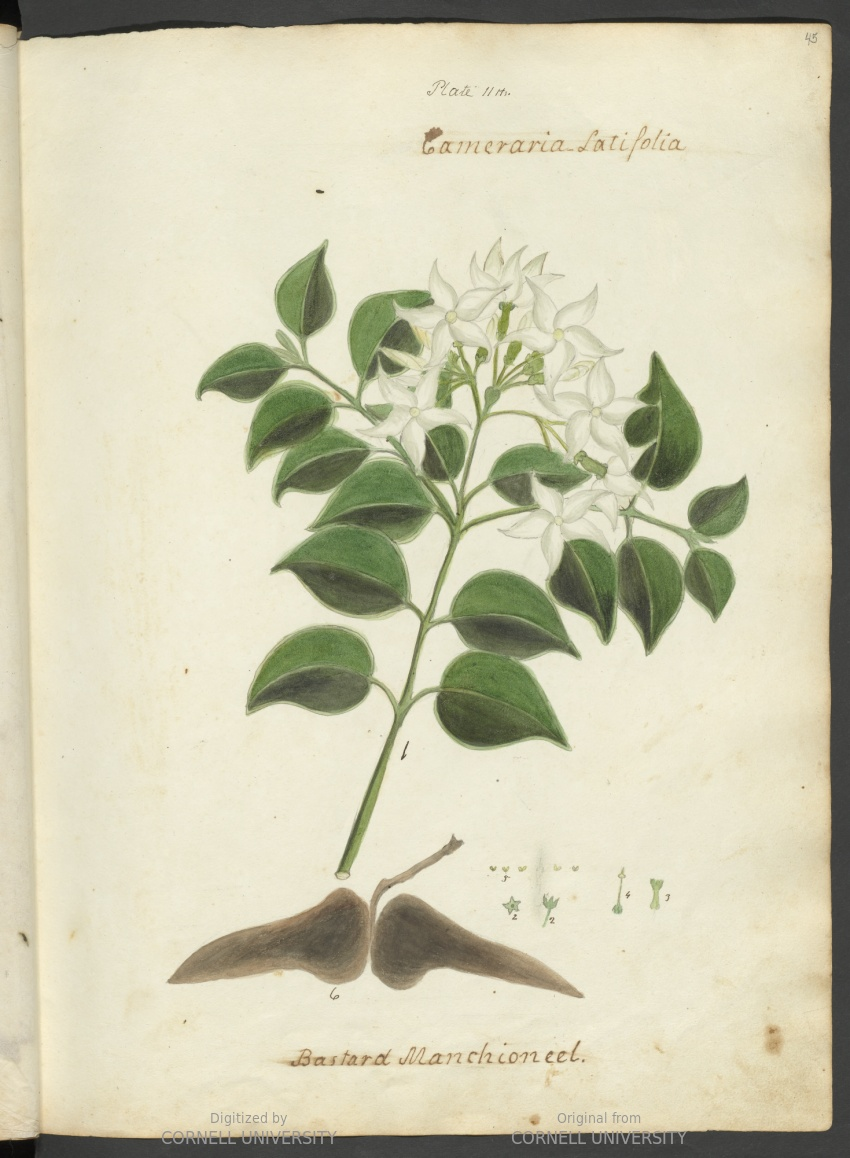 Cameraria latifolia or Bastard Manchioneel. Plate 11. Page 45.