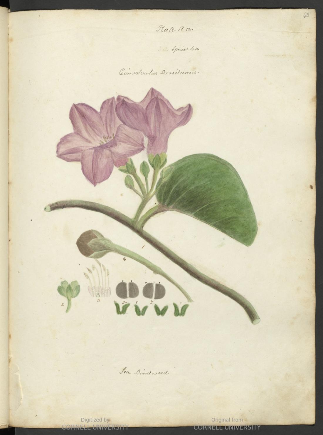 """Convolvulus brasiliensis, sea bindweed."" Plate XVII"
