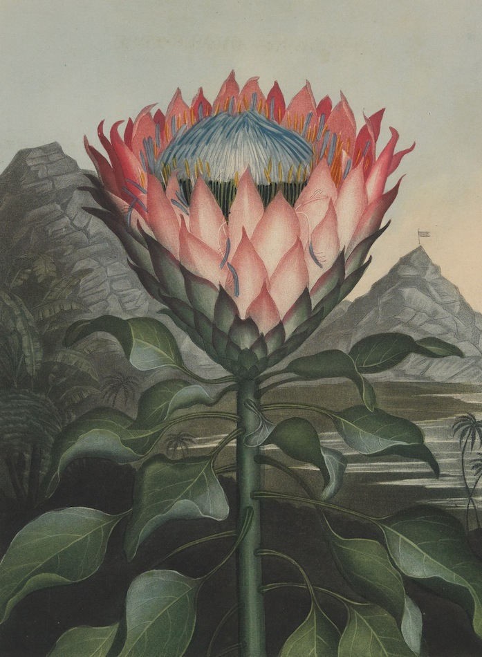 "Plate from ""Temple Of Flora."" 1811."