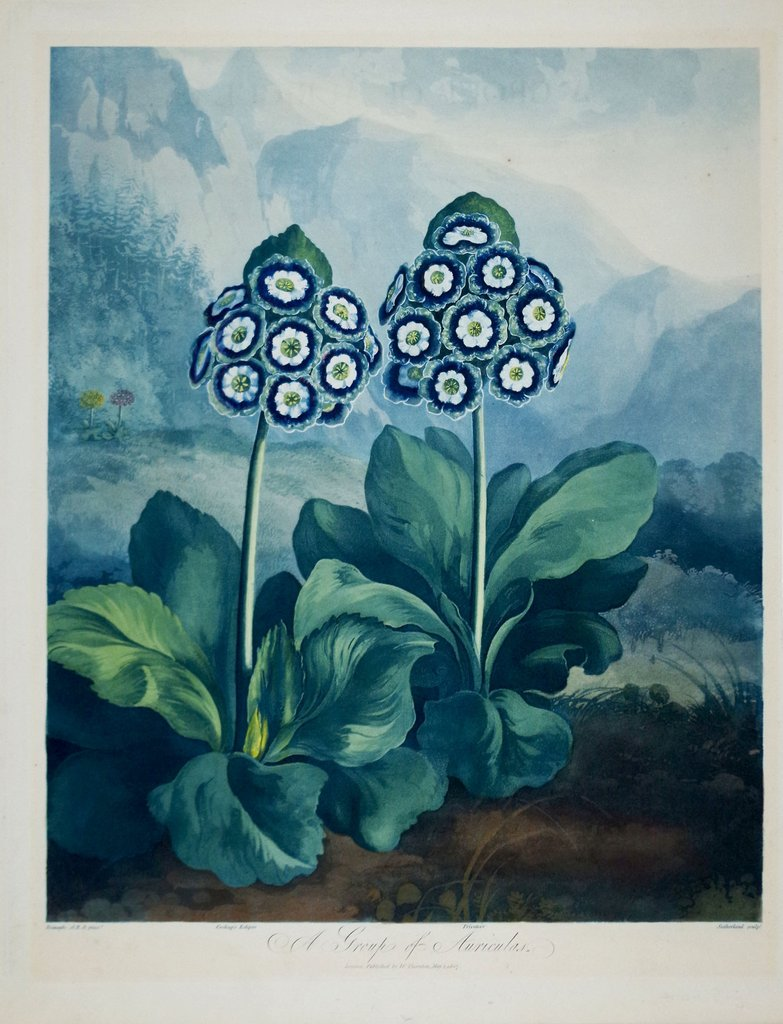 """A Group of Auriculas."" 1799-1810."