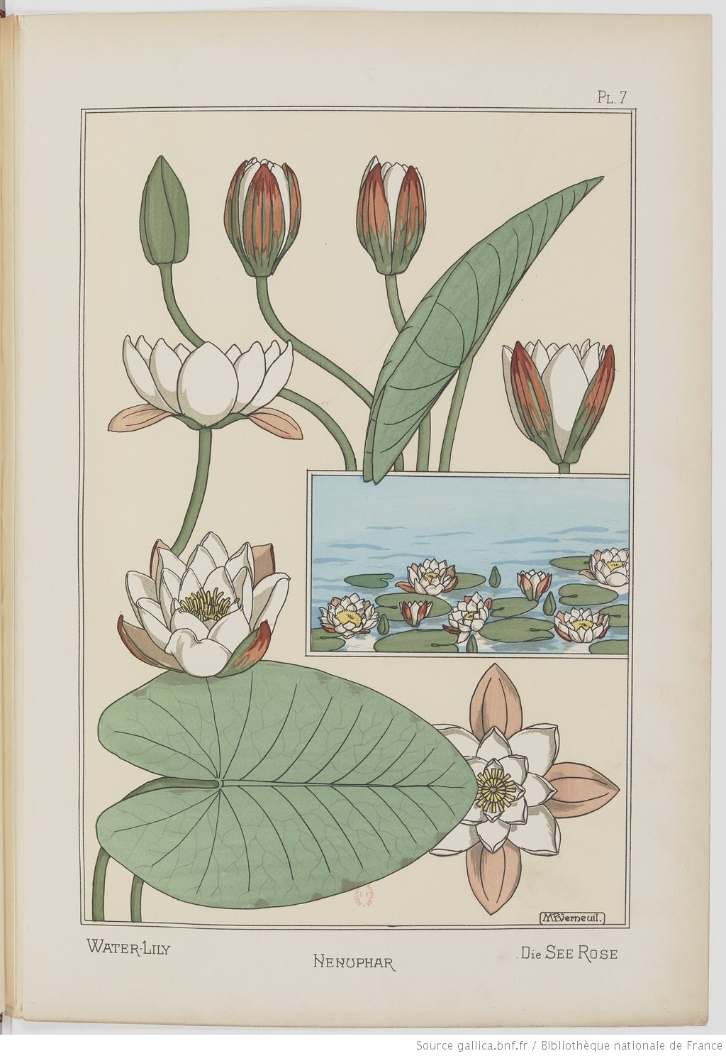 Waterlily. Image 18. Plate VII.