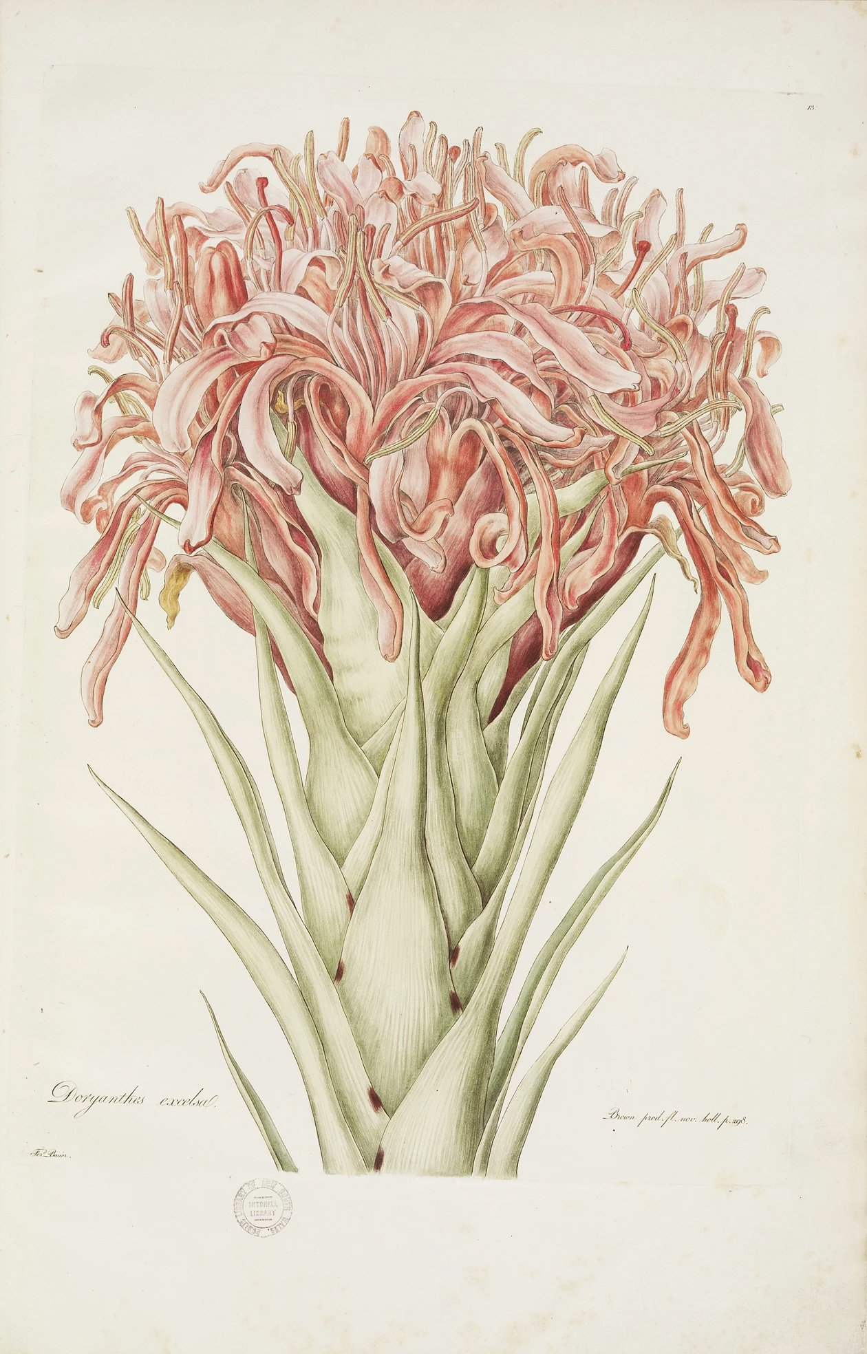 """Doryanthes excelsa."" 1806-1813. Plate 13."