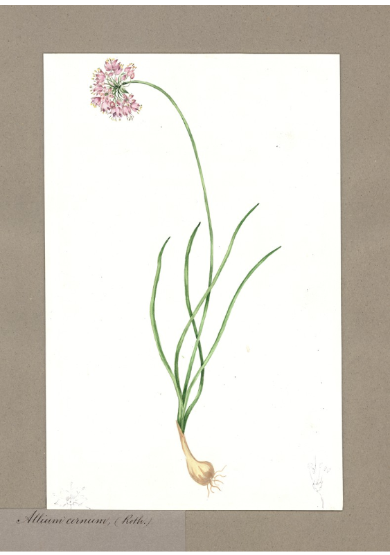 Allium cernum (Roth.)/Nodding onion.