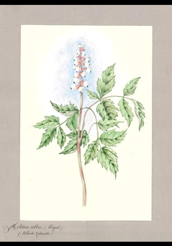 Actaea alba (Bigel.)/White Cohosh.