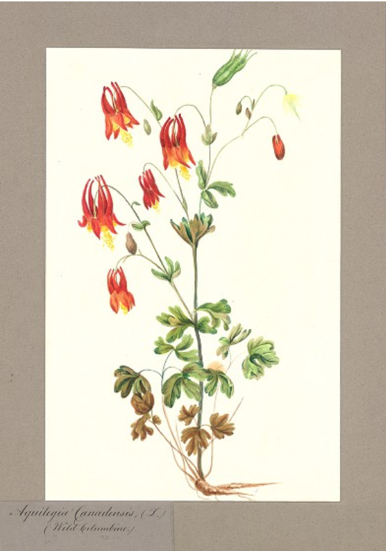 Aquilegia canadensis/Wild Columbine.
