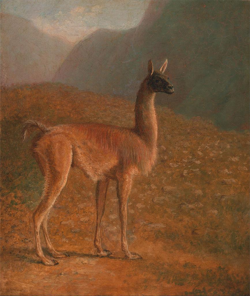 """""""Guanaco."""" ca. 1848."""