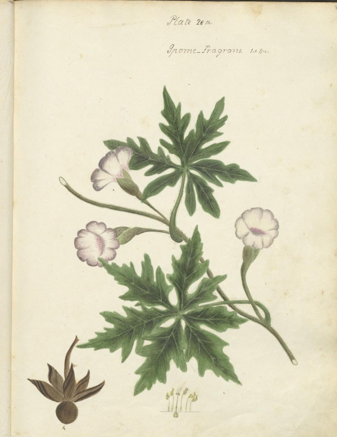 Fragrans. Plate 20. 77.
