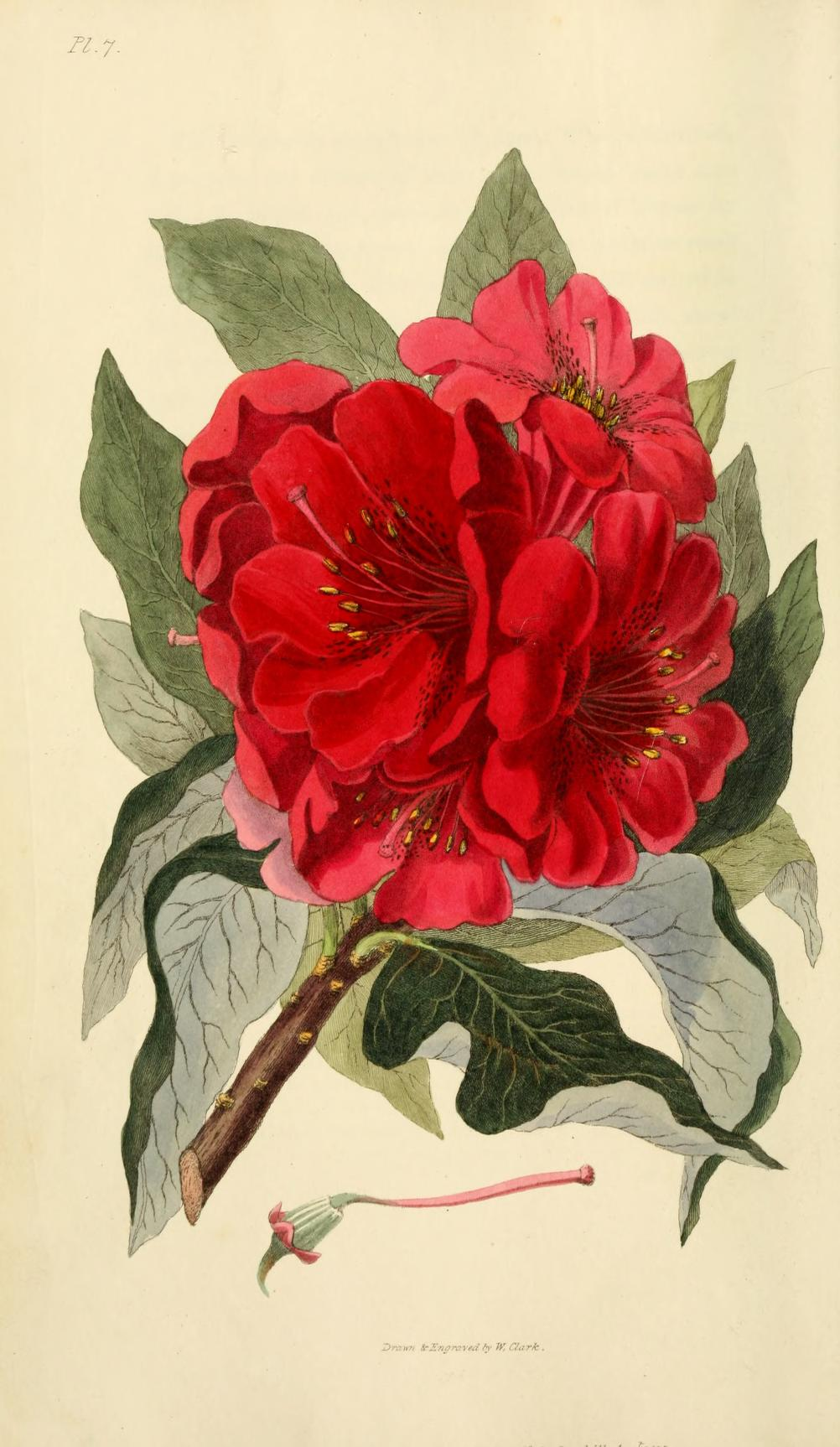 Rhododendron. Page 38.
