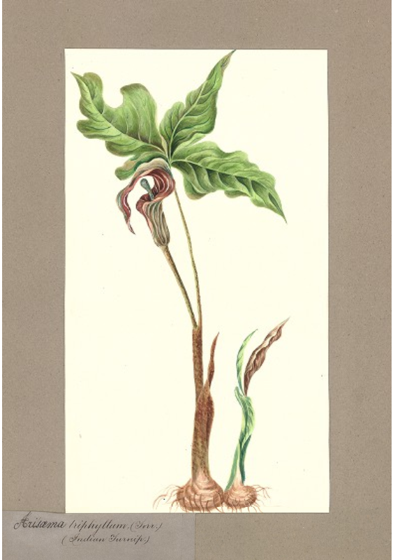 """Arisaema triphyllum (Indian Turnip)."" No exact date."
