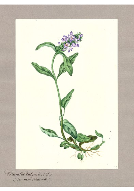 """Brunella vulgaris L. (Common Heal-all {Prunella})."""
