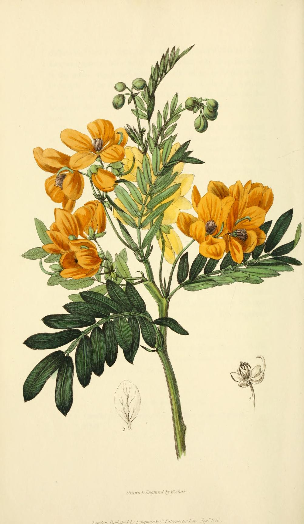 """""""Sweet-Scented Cassia."""" Plate 57."""