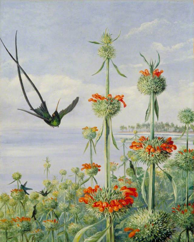 """Leonotis nepetaefolia and Doctor Humming Birds, Jamaica."" ca. 1872."