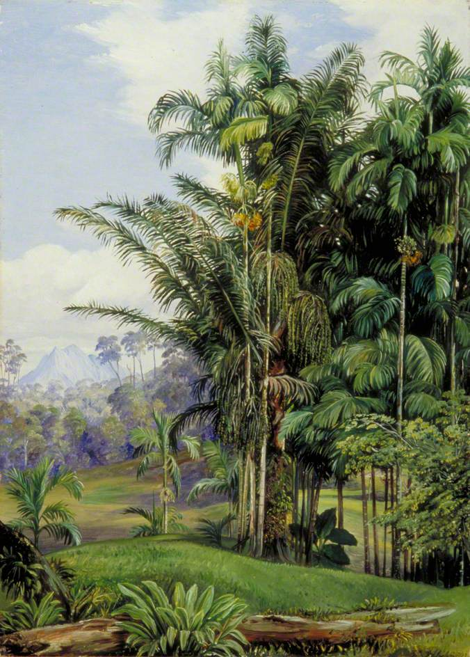 """Group of Wild Palms, Sarawak, Borneo."" 19th c."