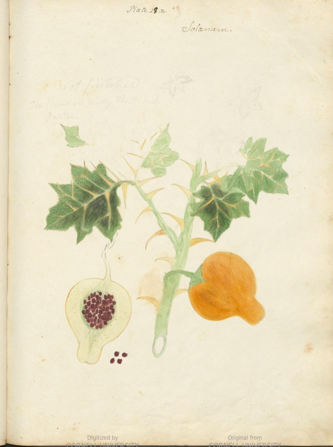 Solanum. Plate 29. Page 121.