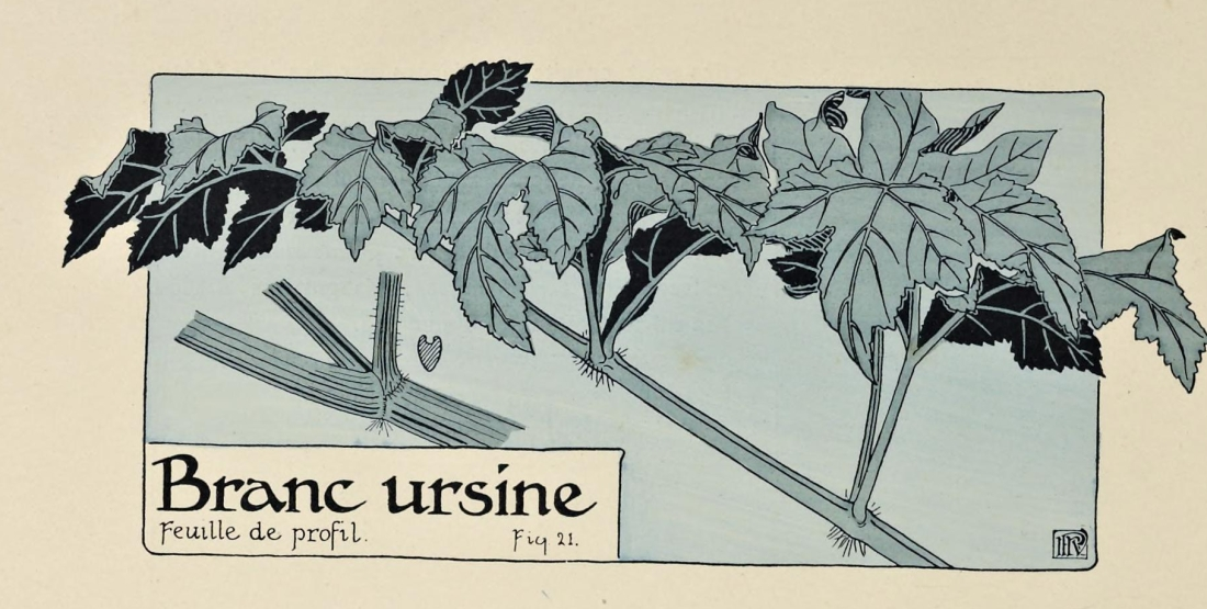 """""""Branc ursine, Feuille de profil."""" Page 30 (detail)."""