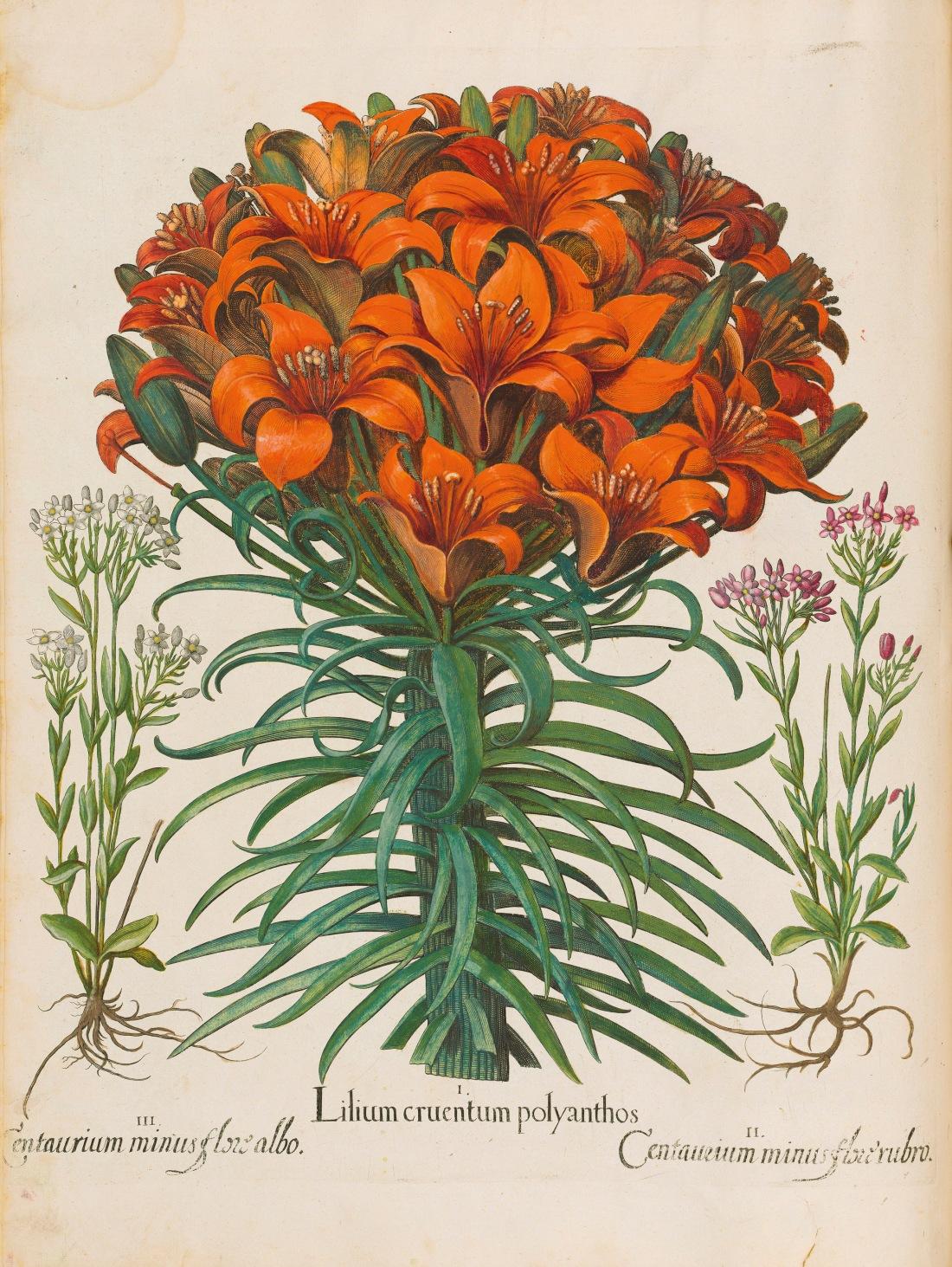 """""""Lilium Cruentum Polyanthos."""" 1613."""