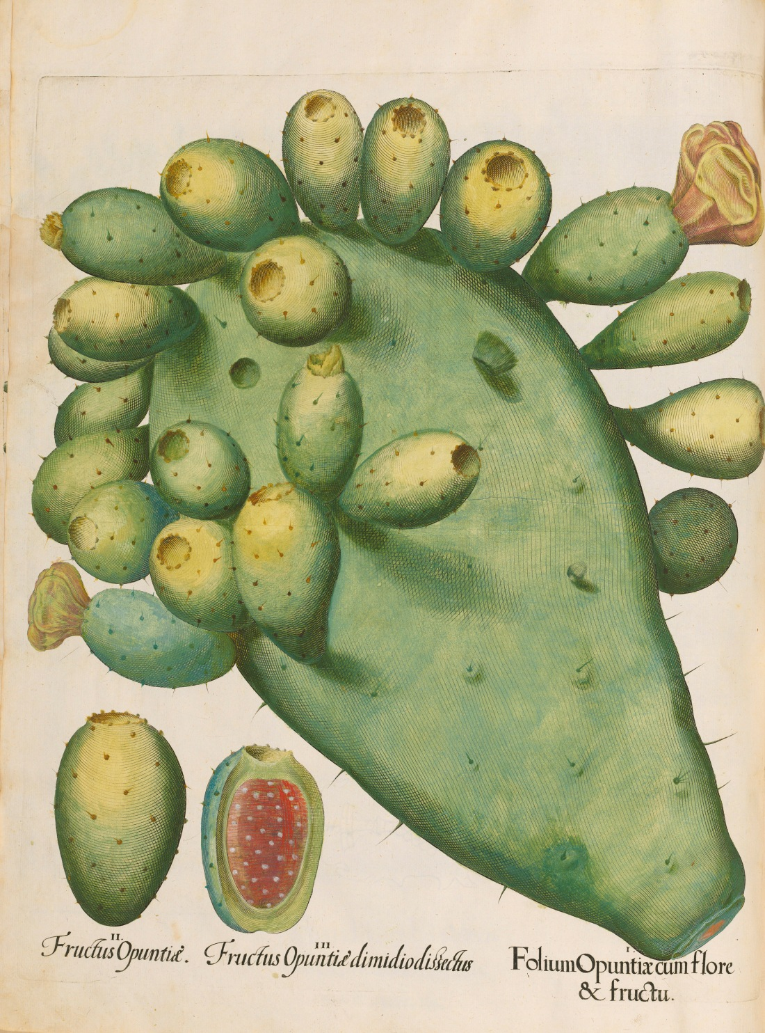 """Fructus Opuntia."" 1613."