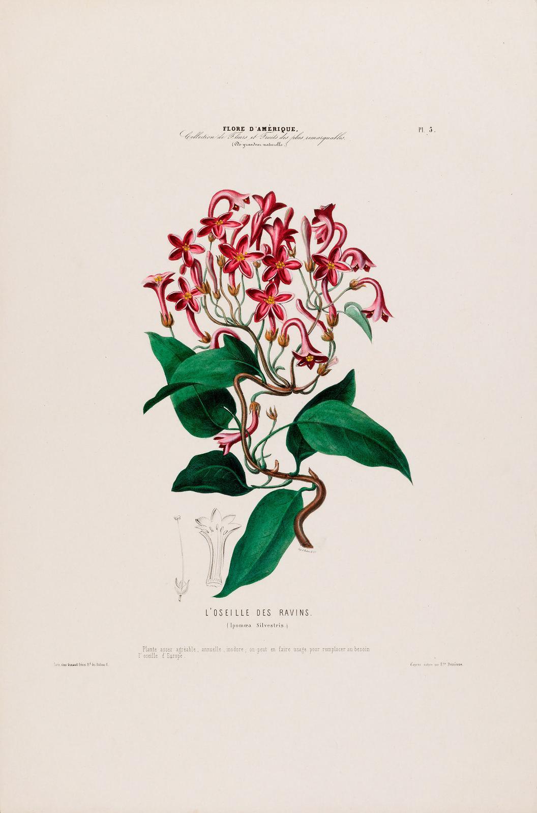 """""""L'Oseille des Ravins (Ipomoea silvestris)."""" Plate 5."""