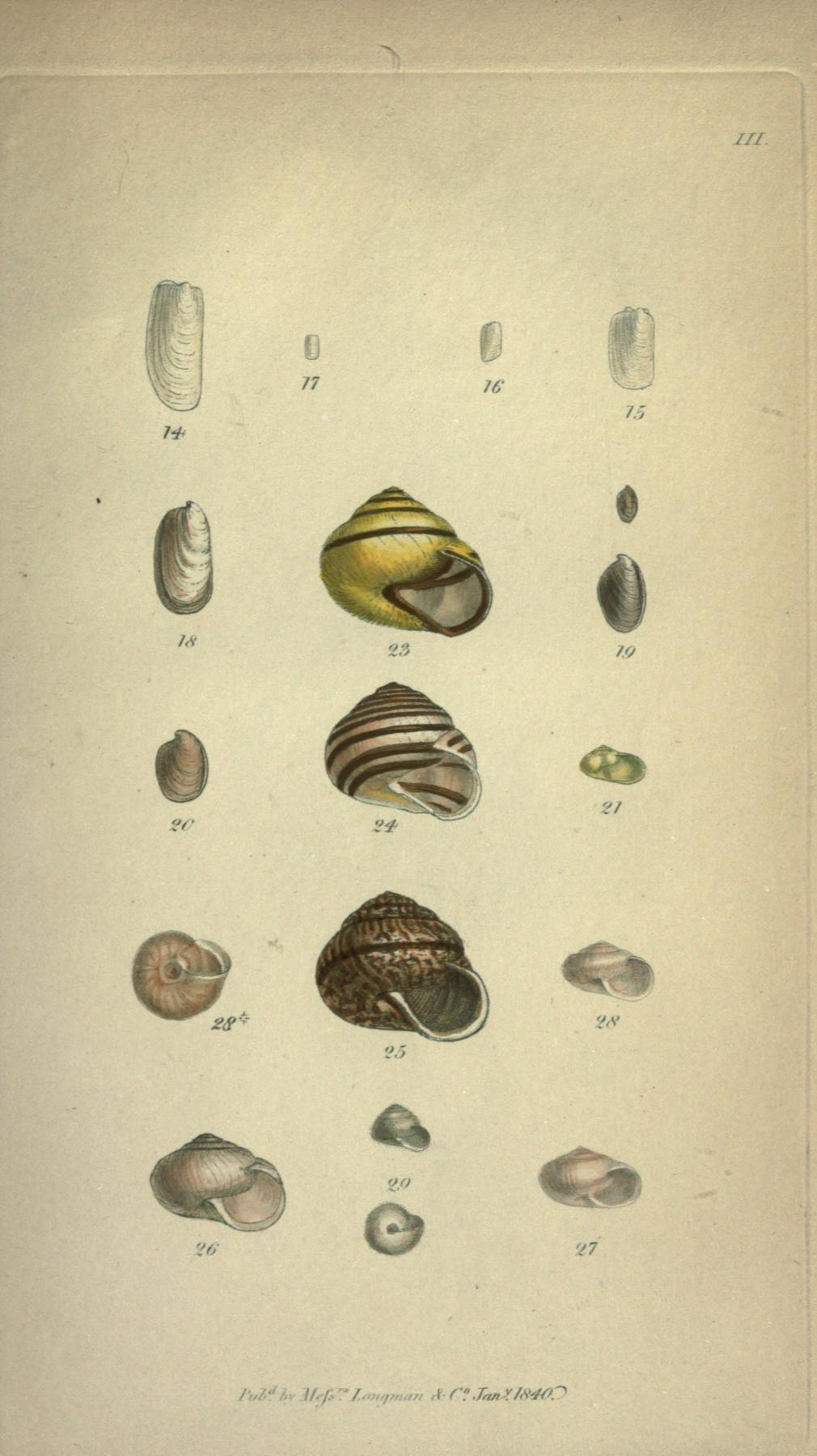 Plate III, figures 14 through 27. Page 331.