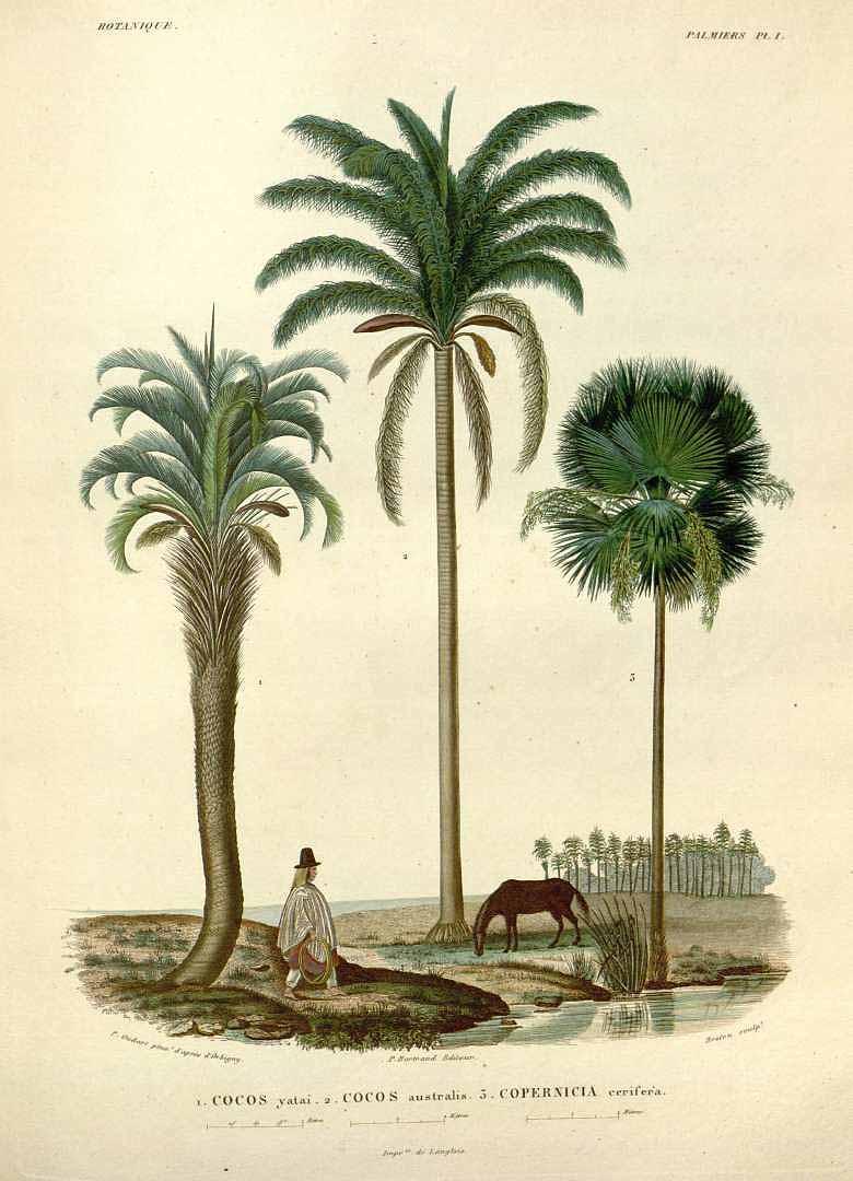 """""""Botanique Palmiers."""" Plate 1."""