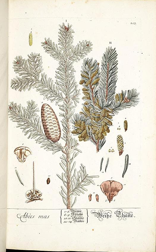 """Abies Mas."" Plate 203. Page 106."
