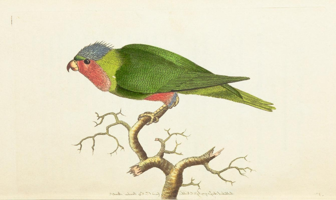 """The Purple Headed Parakeet."" Plate 1. Page 21."