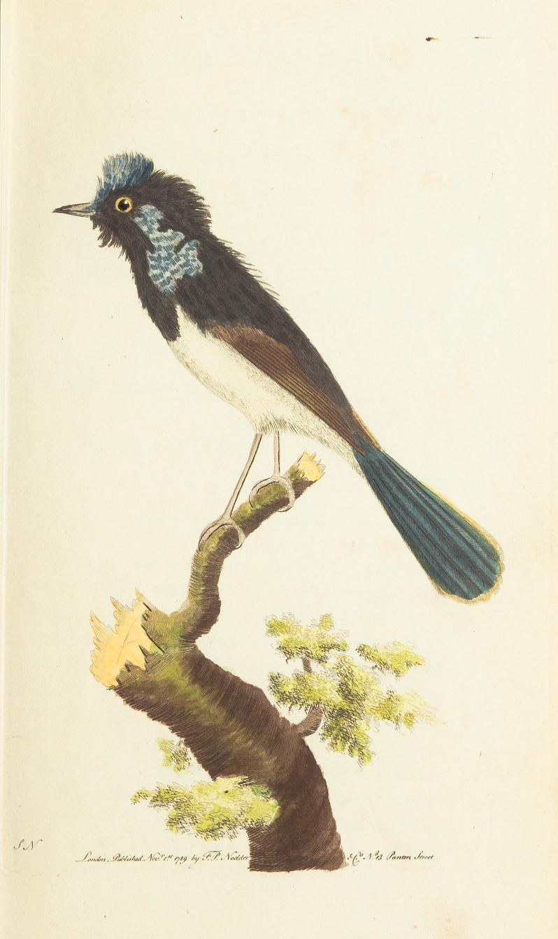 """The Superb Warbler."" Plate 10. Page 65."