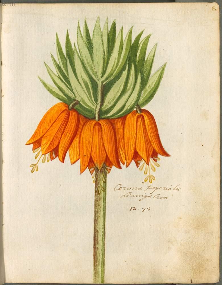 """Gartenblume Corona imperialis Kaiserkrone."" 8r, page 27."