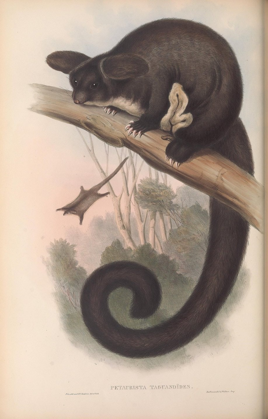 """Petaurista taguanoïdes, Flying Squirrel."""