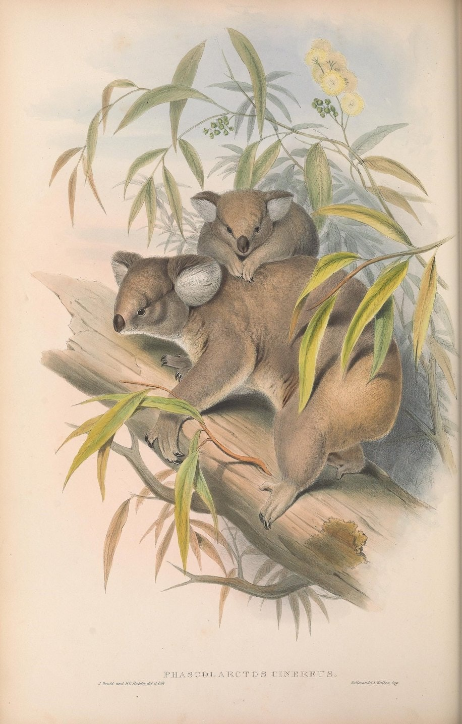 """Phascolarctos cinereus, Koalas."""