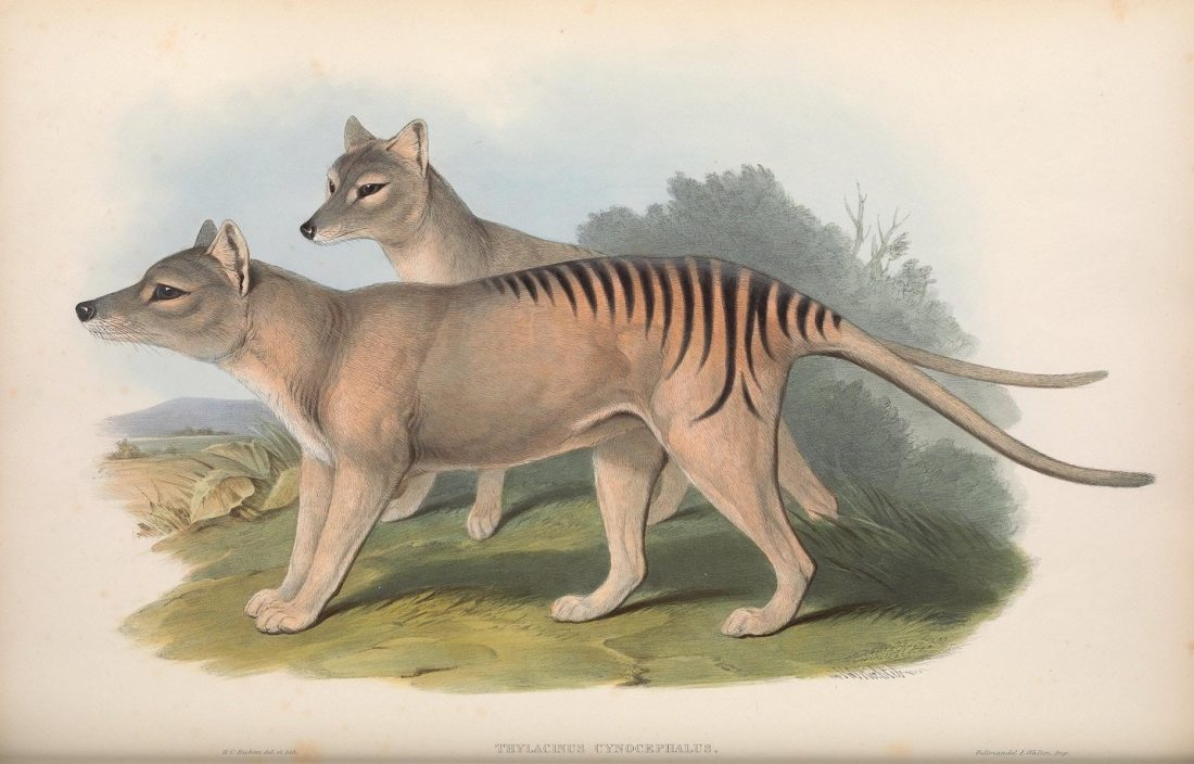 """Thylacinus cynocephalus, Thylacine (now extinct)."""