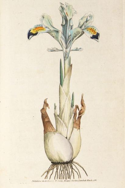 """""""Persian Iris."""" 1."""