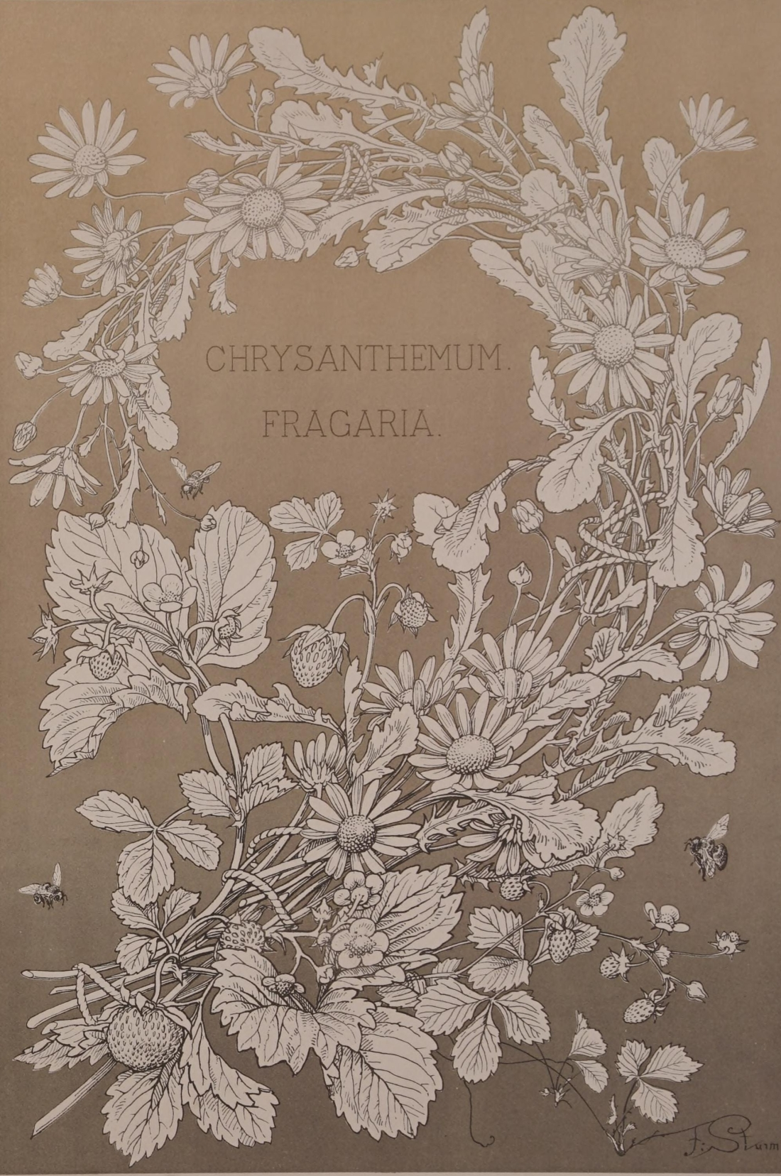 """Chrysanthemum Fragaria."" Plate I, page 24."