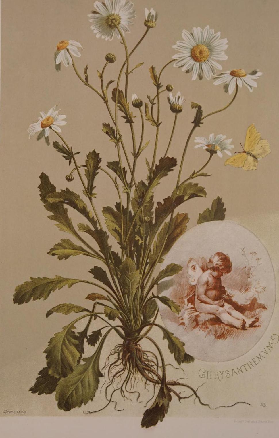 """""""Chrysanthemum."""" Plate 2, page 30."""