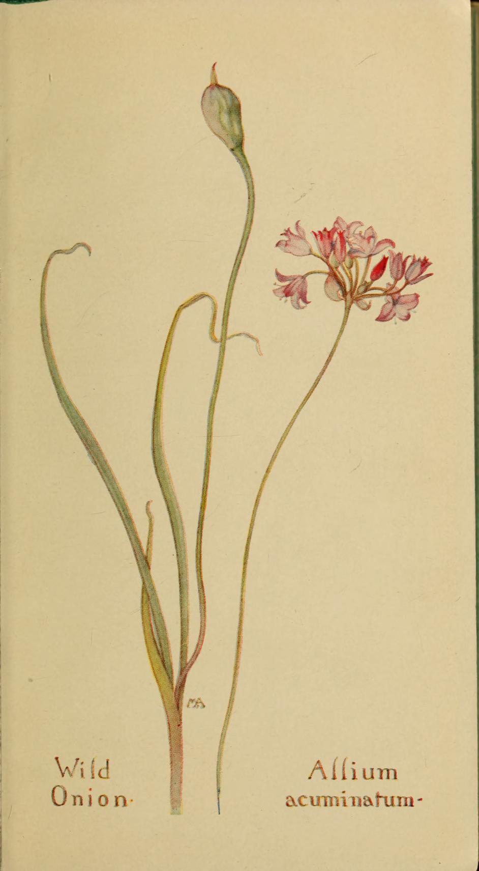 """Wild Onion"""" (Allium acuminatum)."""