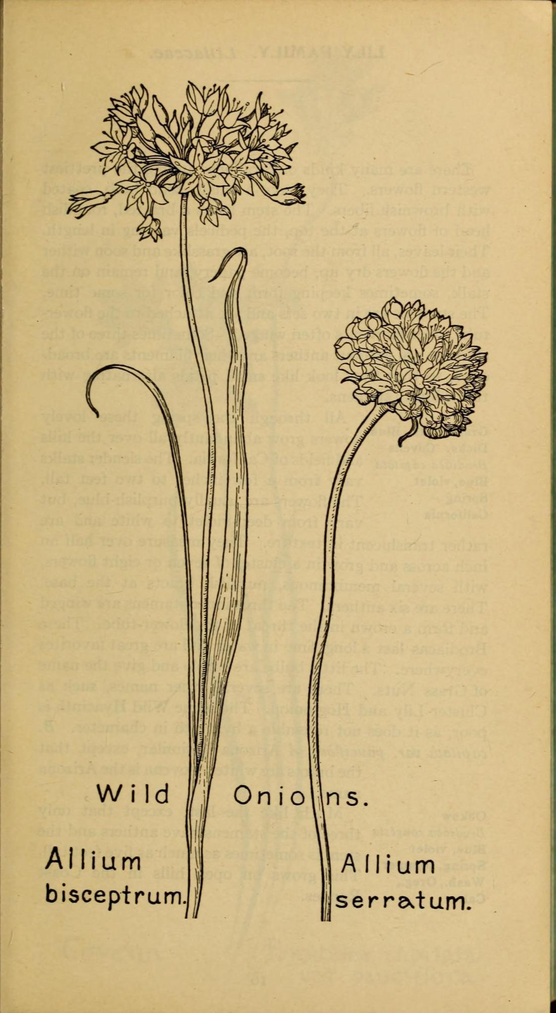 """""""Wild Onion"""" (Allium bisceptrum and Allium serratum)."""