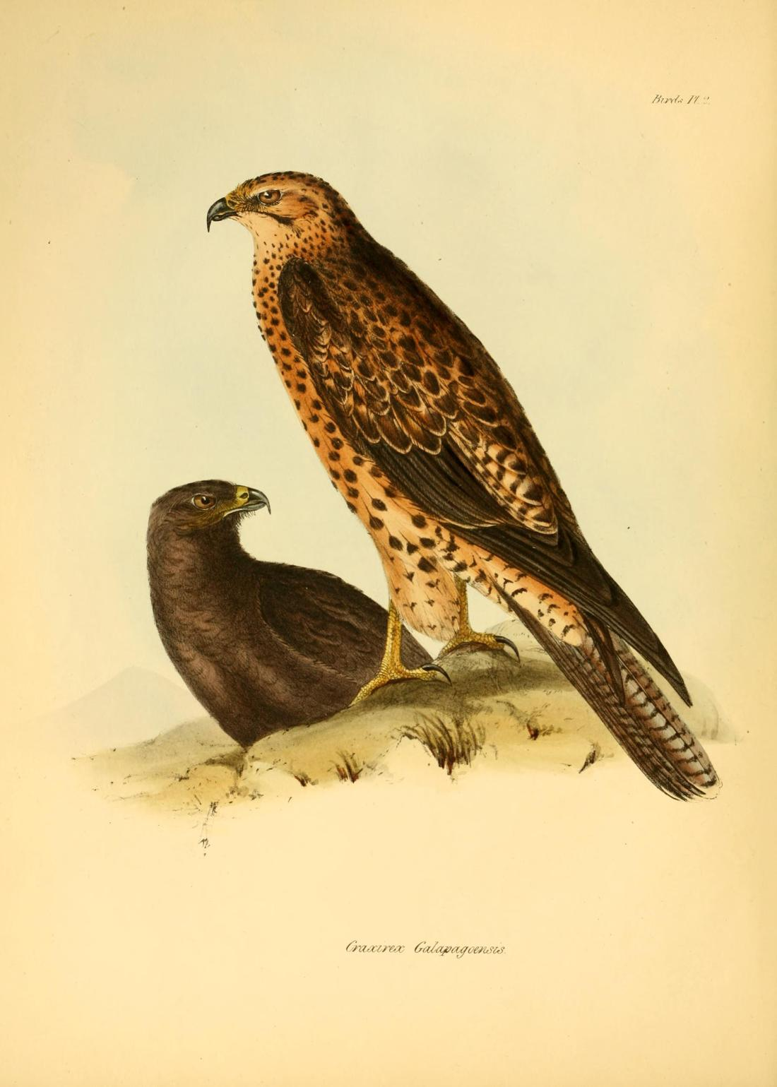 """Craxirex galapagoensis"" (Galapagos Hawk)."
