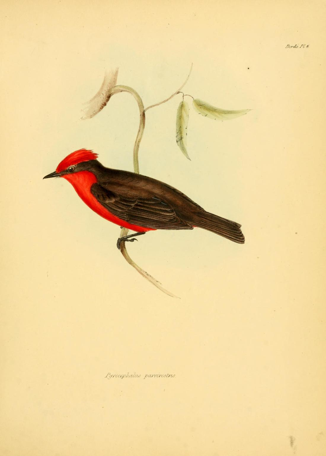 "'""Pyrocephalus Parvirostris"" (Flycatcher)."