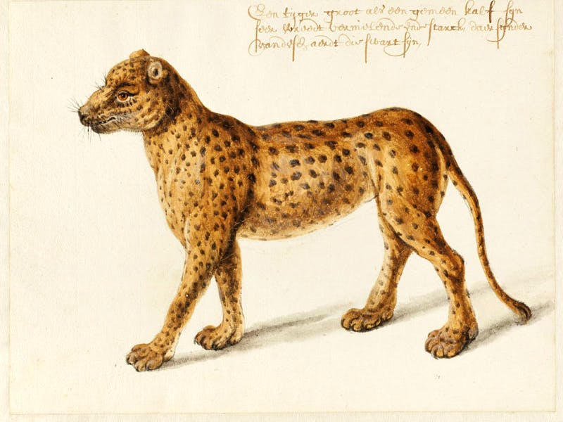 Jaguar-Frans-Post-1612–1680-ca.-1638-1643.-Noord-Hollands-Archief-Haarlem-12-1