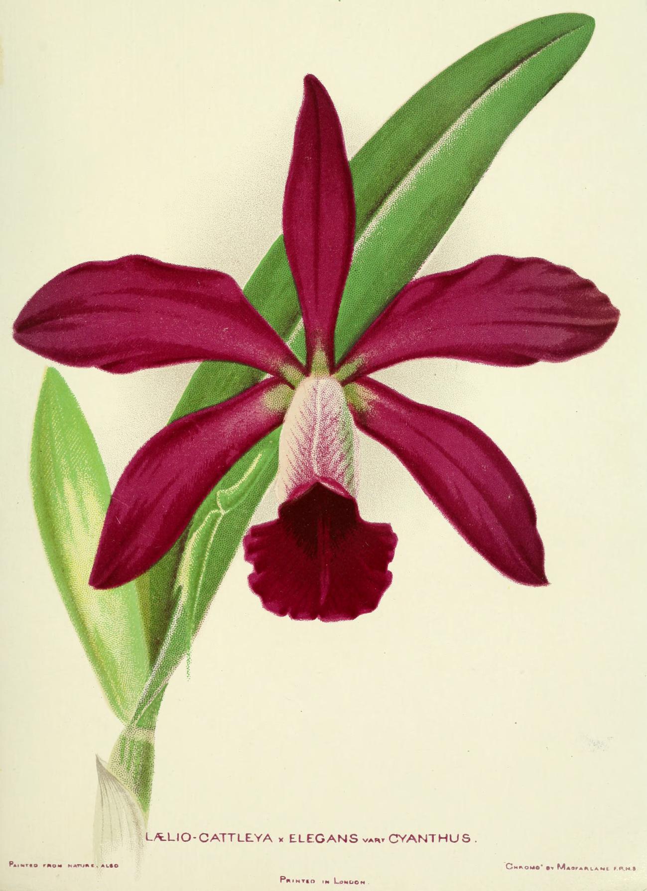 woodlandsorchids00boyl_0037